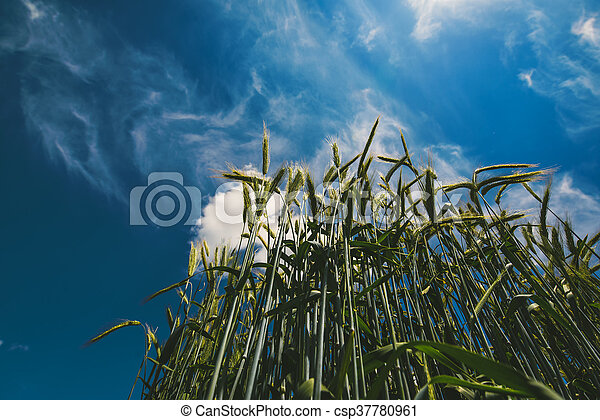 Low angle view of barley straws in cultivated field - csp37780961