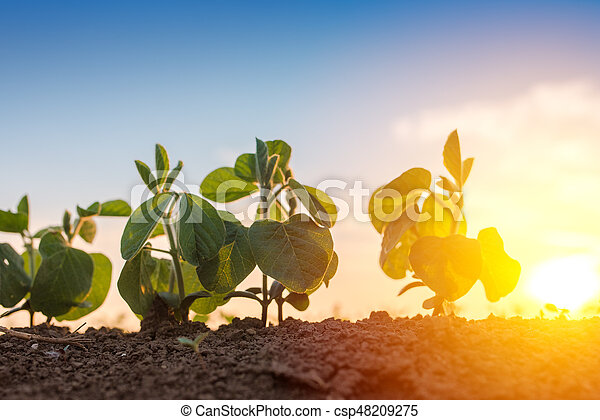 Low angle view of soybean in field - csp48209275