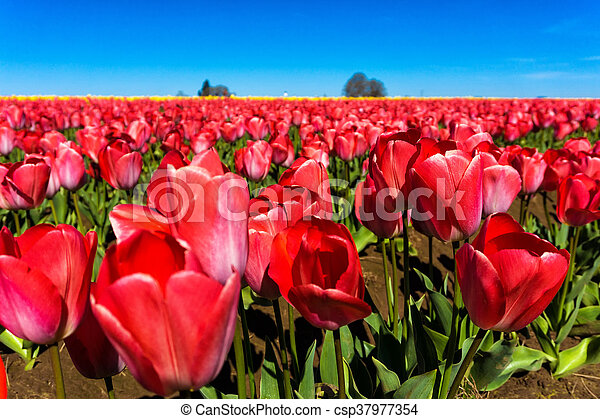 Low Angle View of Tulips - csp37977354