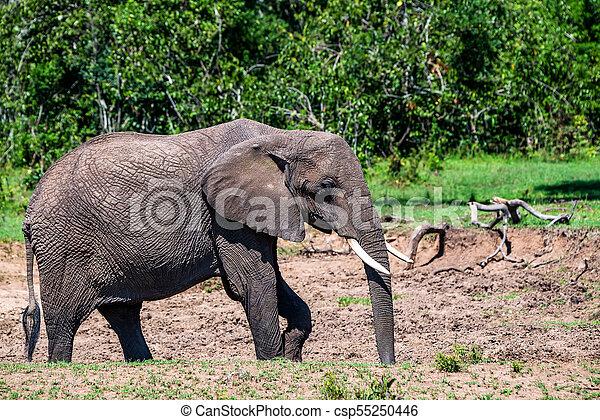 loxodonta, アフリカ, cyclotis, 拾い読み, 象, ∥あるいは∥ - csp55250446