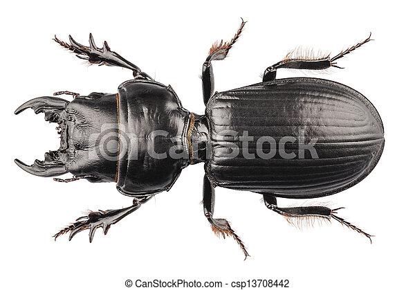 Lucanus Arten Cervus Käfer Definition Freigestellt Cervus