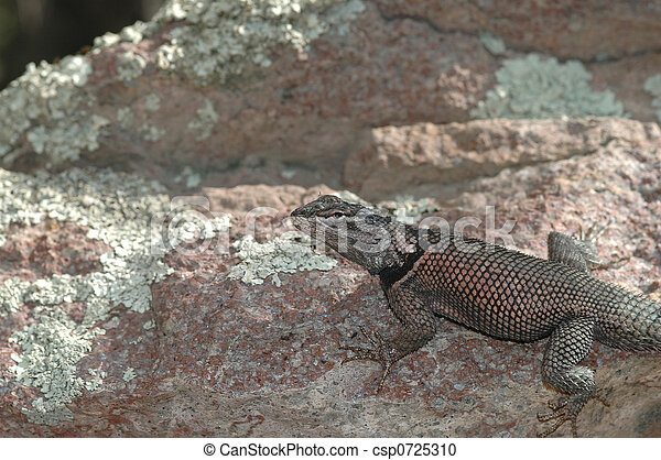 lucertola, arizona, spinoso - csp0725310