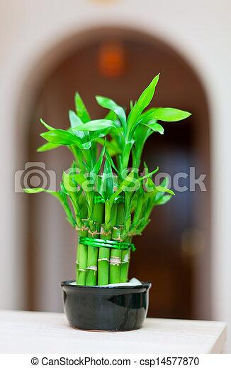 bamboo plant binnen