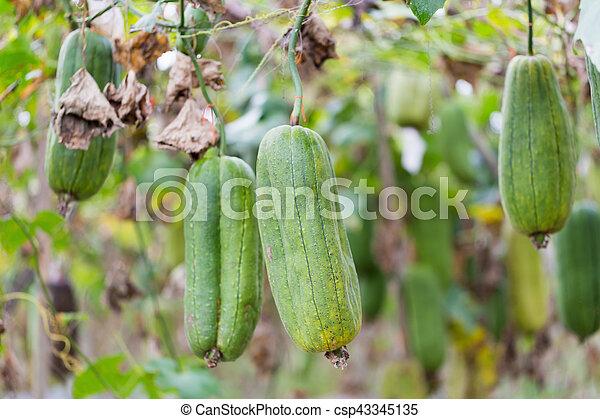 Luffa Gourd Plant In Garden Luffa Cylindrica Luffa Gourd Plant In Garden Luffa Cylindrica Canstock