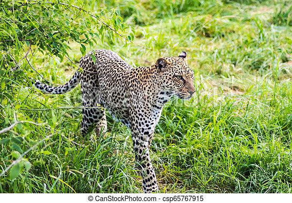 luipaard, wandelende, parkeer bos, samburu - csp65767915
