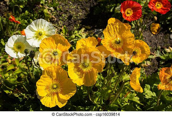 luminoso, amarela, papoulas - csp16039814