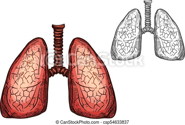 Lung Organ Of Human Anatomy Isolated Sketch Of Respiratory System