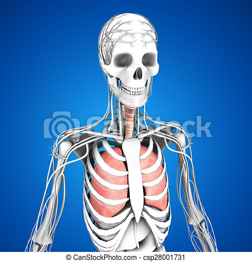 Lungen. Schichten, gemacht, knochen, organ, organs., muskeln, auf ...