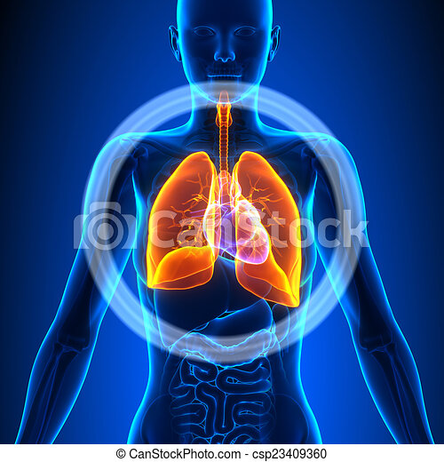 Lungs Female Organs Human Anatomy Stock Illustration Search