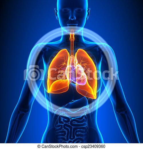 Lungs - Female Organs - Human Anatomy - csp23409360