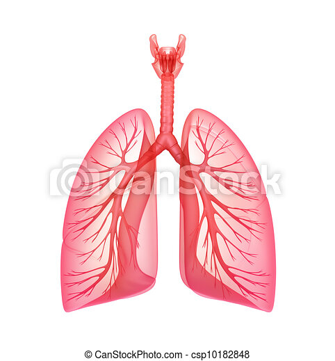 Lungs - pulmonary system - csp10182848