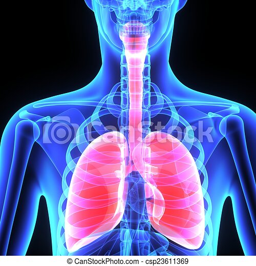 The Human Lungs Are The Organs Of Respiration Humans Have Stock