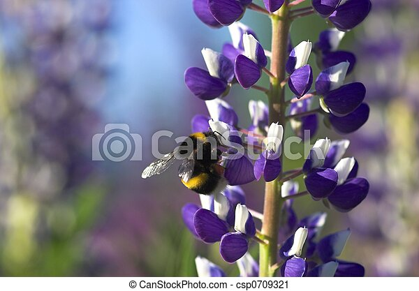 Lupin with Bumblebee - csp0709321