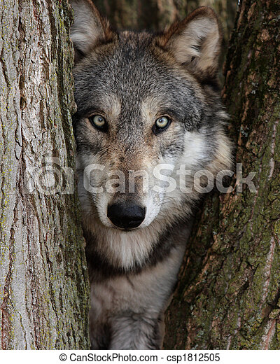 lupus, 狼, 灰色, canis - csp1812505