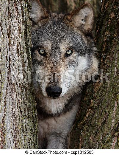 lupus, lobo, gris, canis - csp1812505