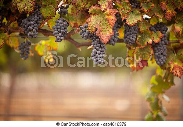 Lush, Ripe Wine Grapes on the Vine - csp4616379