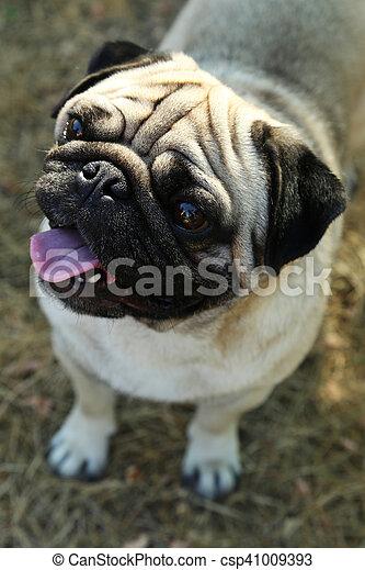 Lustiges Draußen Pug Hund Herbst Park