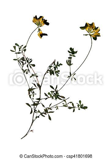 Luzerne Fleur Seche Jaune Falcata Usage Scrapbooking