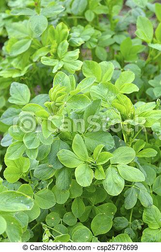 Berühmt Luzerne, schöne , pflanze, feld, grün, tier, wachsen, nutrition. @KQ_28