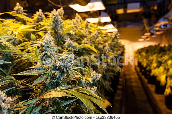 luzes, crescer, sob, sala, marijuana - csp33236455