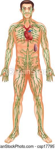 Lymphatic System - csp17795744