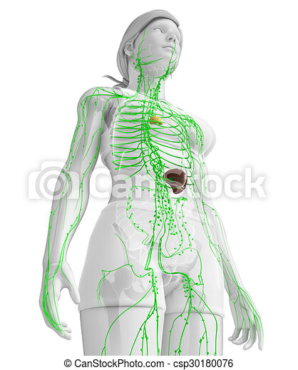Lymphatic system of female body. Illustration of female body ...