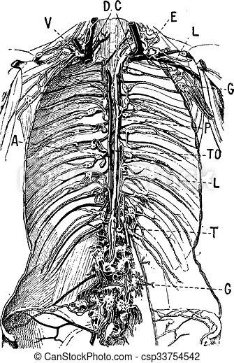 Lymphatic System, vintage engraving - csp33754542