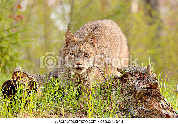 Lynx canadensis stalking - csp0347943