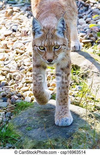 Lynx portrait - csp16963514