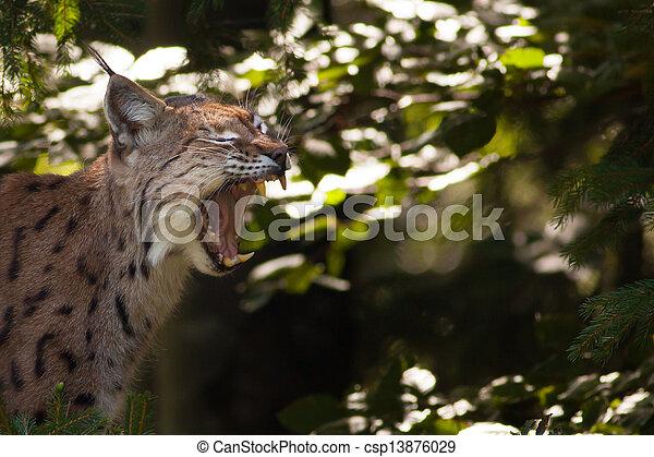 Lynx showing its teeth - csp13876029