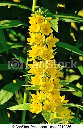 Lysimachia vulgaris close up garden yellow loosestrife beautiful lysimachia vulgaris close up stock photo mightylinksfo