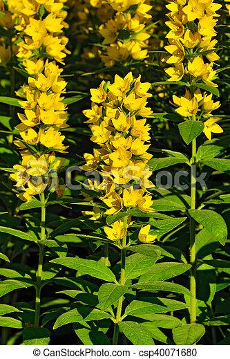 Lysimachia vulgaris closeup garden yellow loosestrife beautiful lysimachia vulgaris closeup csp40071680 mightylinksfo