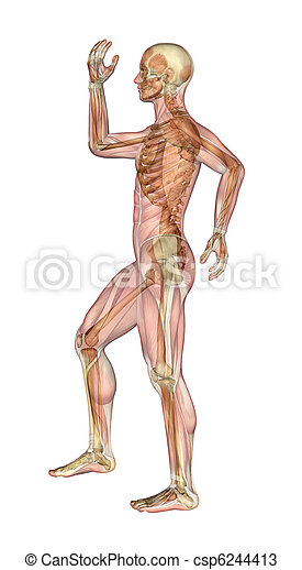 Msculos doblado pierna brazos hombre esqueleto Posicin