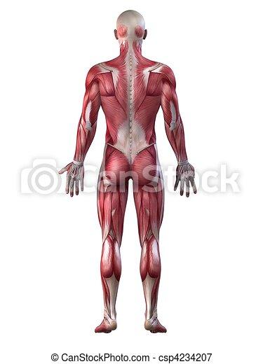 mâle, système, musculaire - csp4234207