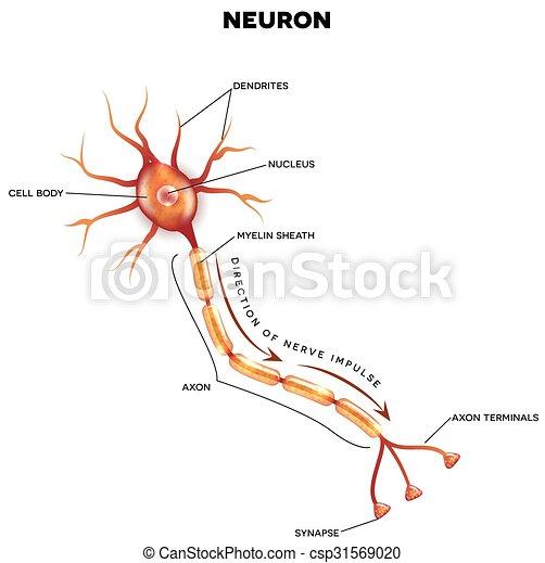 märkt, diagram, neuron - csp31569020