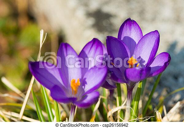 März Blüte Zwei Gelber Krokus Blumen