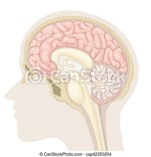 médian, section, cerveau humain - csp42350204