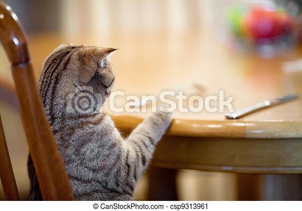 Cat wartet auf Essen, wie ein Mann am Tisch - csp9313961