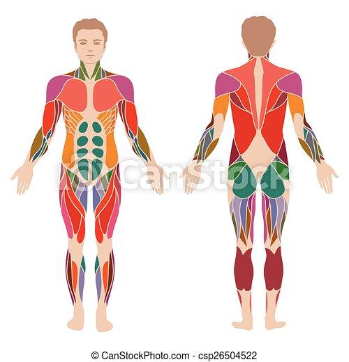 músculo, cuerpo - csp26504522