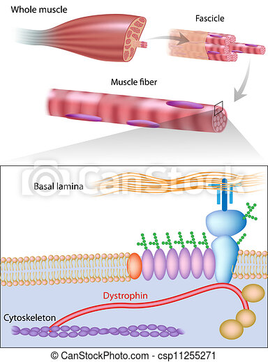 músculo, eps10, fibra, dystrophin - csp11255271