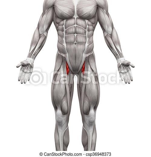 Músculos, -, aislado, ilustración, brevis, anatomía, longus, aductor ...
