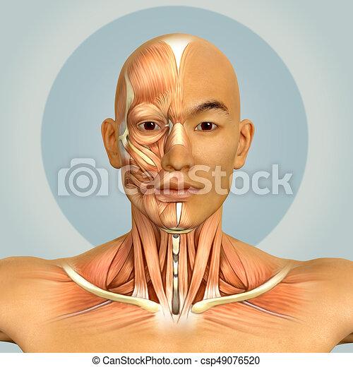 Músculos, cuello, cara, anatomía, asiático, modelo, macho, 3d.
