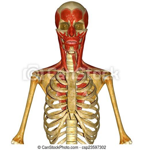 Músculos, facial, cráneo. Tareas, facial, ajustes, algunos, diverso ...