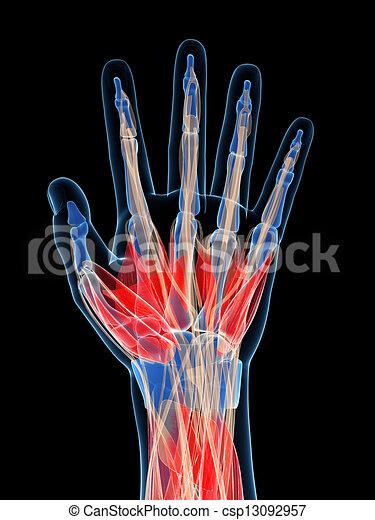 Músculos, mano humana. Músculos, ilustración, mano, rendido, humano, 3d.