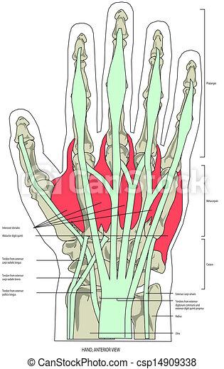 Músculos, mano.