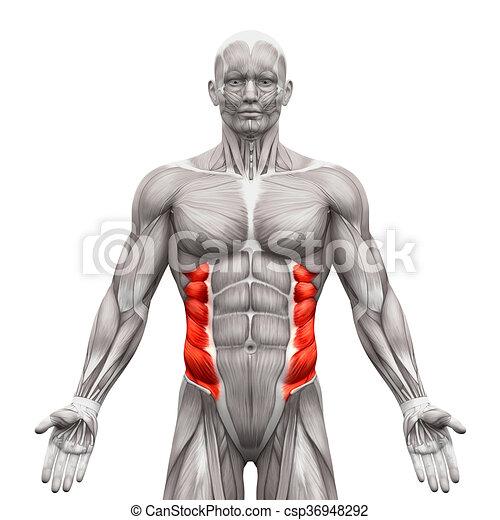 Músculos, oblicuo, -, aislado, ilustración, anatomía, externo ...