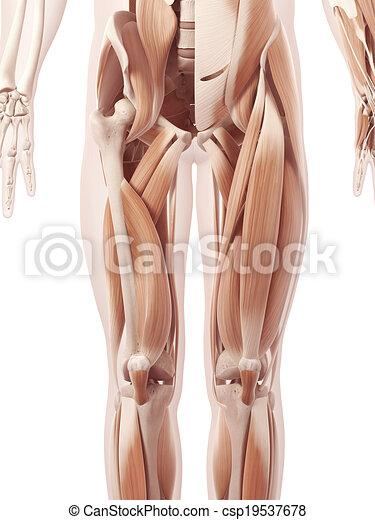 Músculos, pierna. Anatomía, actuación, músculos,... ilustraciones de ...