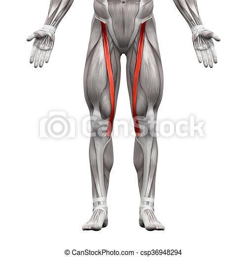 Músculos, sartorius, -, aislado, ilustración, anatomía, blanco ...