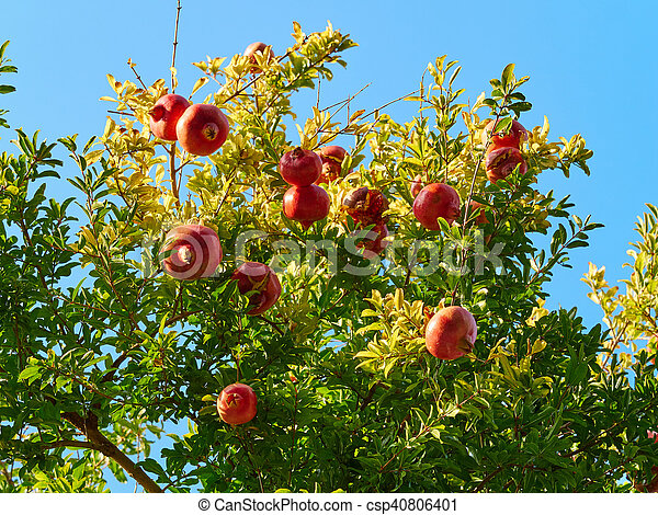 M re grenade arbre fruits punica granatum bleu entiers branches m re ensoleill - Acheter des grenades fruits ...