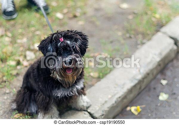 Mały Pieszczoch Fryzura Yorkshire Terrier